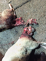 Pictured: Some of the savaged sheep owned by Tom Hadley.<br />