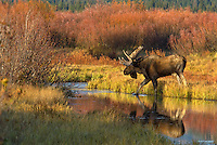 Bull Moose (Alces alces) by old beaver pond, Western U.S., fall.