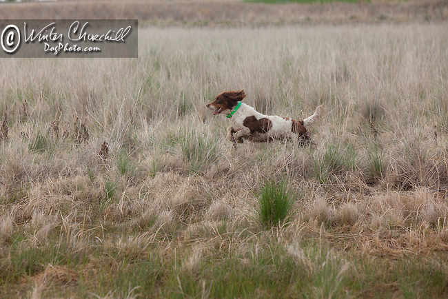 The English Springer Spaniel English Springer Spaniel  hunting Shopping cart has 3 Tabs:<br />
