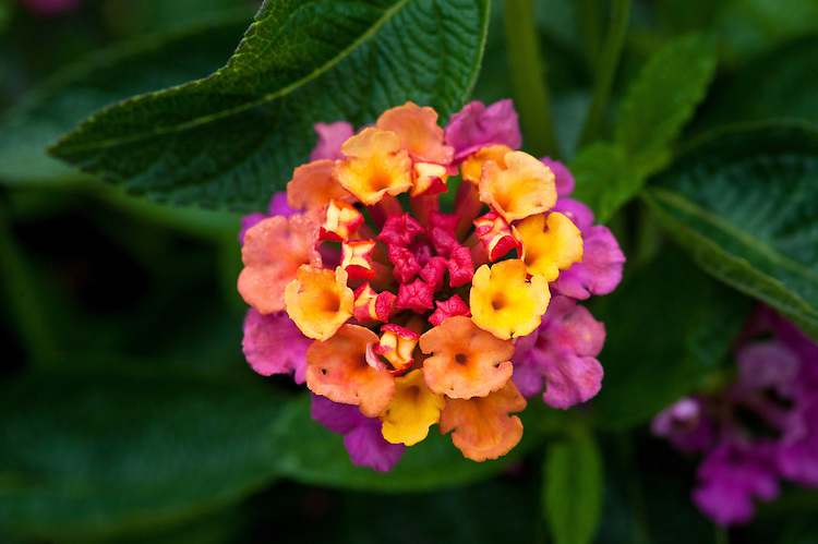 Lantana camara 'Lucky Red Flame', early August. A small evergreen shrub often grown as an annual.