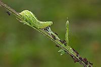 Späte Großstirnschwebfliege, Larve frisst Blattlaus, Blattläuse, Schwebfliegenlarve, Schwebfliegenlarven, Schwebfliegen-Larve, Späte Großstirn-Schwebfliege, Weiße Dickkopf-Schwebfliege, Blasenköpfige Schwebfliege, Halbmondschwebfliege, Halbmond-Schwebfliege, Johannisbeer-Schwebfliege, Scaeva pyrastri, pied hoverfly, cabbage aphid hover fly, larva, Le Syrphe pyrastre
