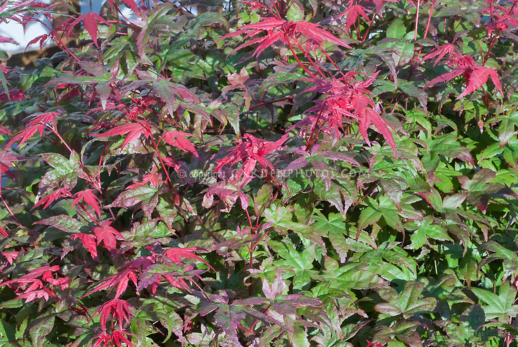 Acer Palmatum Deshojo Plant Flower Stock Photography
