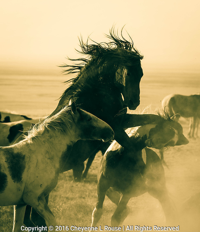 Let The Dust Fly - Utah - Wild Horses - Mustangs