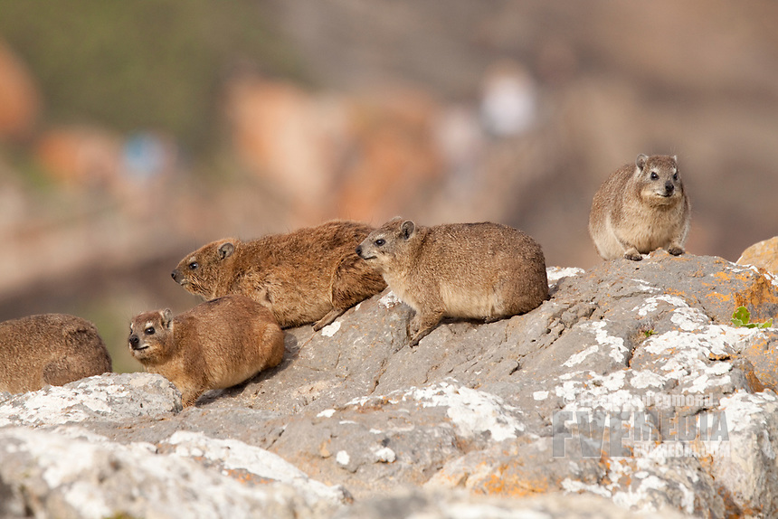 Rock Dassie, Robberg Nature Reserve, South Africa.