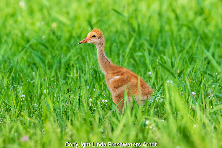 Young sandhill crane in a northern Wisconsin meadow.