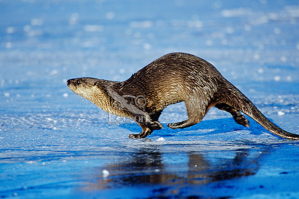 River otter trotting/loping (they have an odd gait on land) across frozen pond, Western U.S., winter.  This was one of five otters (probably a family group--mother & four mostly grown young) that I stumbled across using the open water at the outlet stream on a small lake in Idaho.  After about a 1/2 hour of fairly fruitless fishing (I think I saw one fish caught) four of the otters trotted out across the ice and disappeared in the forest beyond (see photo Mo298).  This particular river otter was under the ice hunting at the time and by the time it surfaced the other otters were gone.  It took it about fifteen minutes to figure out what had happened and where the others had gone.