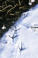 Graureiher, Fußabdrücke eines Graureihers im Schnee und Eis entlang eines zugefrorenen Baches, Grau-Reiher, Fischreiher, Reiher, Ardea cinerea, Grey Heron, Héron cendré, Spur, Fußabdruck im Schnee, Fussabdruck, Trittsiegel, Fußspur, Vogelspur, Vogelfuß