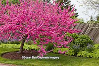 63821-22701 Redbud tree (Cercis canadensis sp) blooming in spring, Chicago Botanic Garden, Glencoe, IL