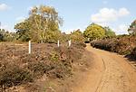 Sandy track through heath vegetation in Suffolk Sandlings heathland, Sutton, Suffolk, England, UK