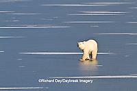 01874-13016 Polar Bear (Ursus maritimus) walking on frozen pond Churchill Wildlife Management Area, Churchill, MB