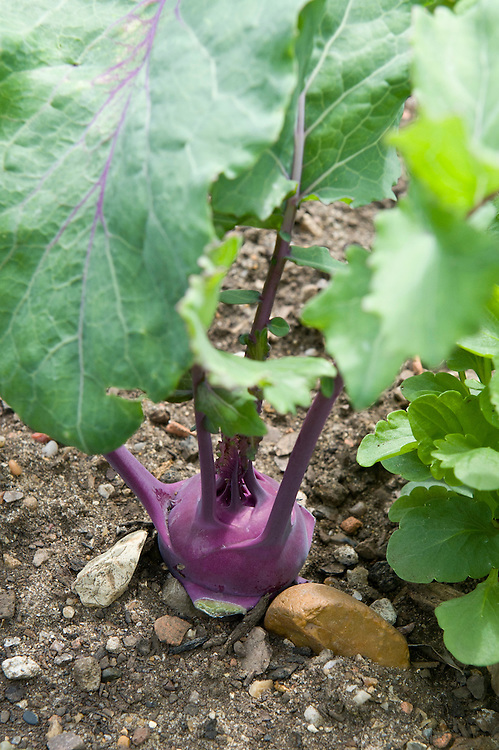 Kohlrabi 'Kolibri', mid June. A member of the brassica or cabbage family, kohlrabi is actually a swollen stem not a root.