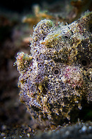 Warty Frogfish (Antennarius maculatus) in the Lembeh Strait / Indonesia