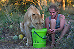 Botswana, Kalahari, Valentin Gruener  with a lioness he raised on a private reserve from a small dying cub to a healthy adult, lioness drinking water out of bucket