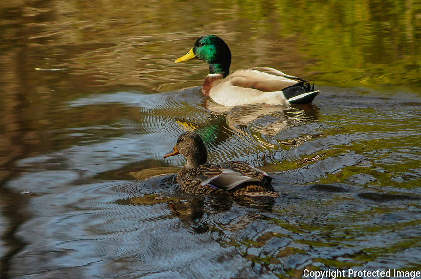 A pair of mallard ducks, male and female, on a pond at the five rivers environmental center in Delmar, New York USA