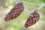 Pair of Pine Cones on tree, Sierra de Andujar Natural Park, Sierra Morena, Andalucia, Spain