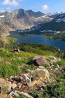 Mountain Goats (Oreamnos americanus) drink from small stream above Hidden Lake.  Glacier National Park, Montana.  Summer.