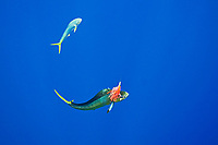 mahi mahi, common dolphinfish or dorado, Coryphaena hippurus, hooked on a trolling jet lure, being accompanied by the other free-swimming mahi mahi which is trying to attack the lure, off Kona Coast, Big Island, Hawaii, USA, Pacific Ocean