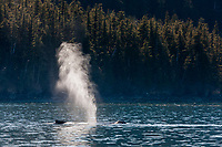 Blow spout of a humpback whale in Unakwik inlet, Prince William Sound, southcentral, Alaska.