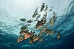 Chaetodipterus faber, Atlantic spadefish, Bahamas