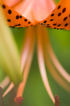 Riger lily Flower closeup