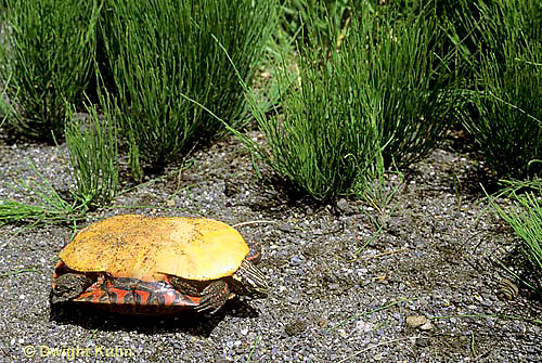 1R13-106z  Painted Turtle - on its back, needs to roll over  - Chrysemys picta