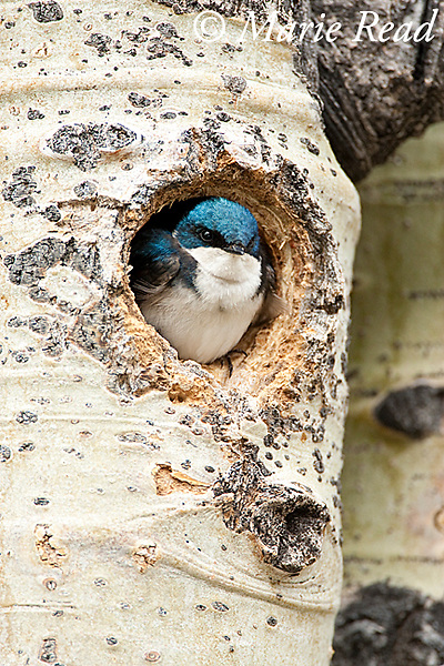 Tree Swallow (Tachycineta bicolor), looking out of nest hole in aspen trunk, Mono Lake Basin, California, USA