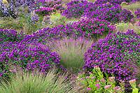 Schizachyrium scoparium, Little bluestem grass with Aster novae-angliae 'Purple Dome' and Sedum 'Neon' in Colorado prairie garden; Scripter garden, design Lauren Springer Ogden