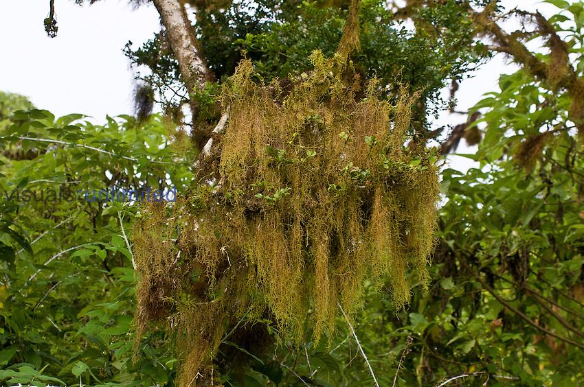 Liverworts (Frullania aculeata), Santa Cruz Island, Galapagos, Ecuador.