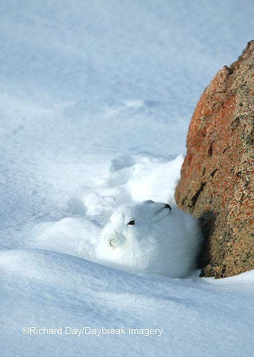 02206-001.19 Arctic Hare (Lepus timidus) in snow, Churchill  MB