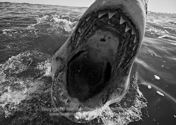 qm0790-D. Great White Shark (Carcharodon carcharias). South Africa..Photo Copyright © Brandon Cole. All rights reserved worldwide.  www.brandoncole.com..This photo is NOT free. It is NOT in the public domain. This photo is a Copyrighted Work, registered with the US Copyright Office. .Rights to reproduction of photograph granted only upon payment in full of agreed upon licensing fee. Any use of this photo prior to such payment is an infringement of copyright and punishable by fines up to  $150,000 USD...Brandon Cole.MARINE PHOTOGRAPHY.http://www.brandoncole.com.email: brandoncole@msn.com.4917 N. Boeing Rd..Spokane Valley, WA  99206  USA.tel: 509-535-3489