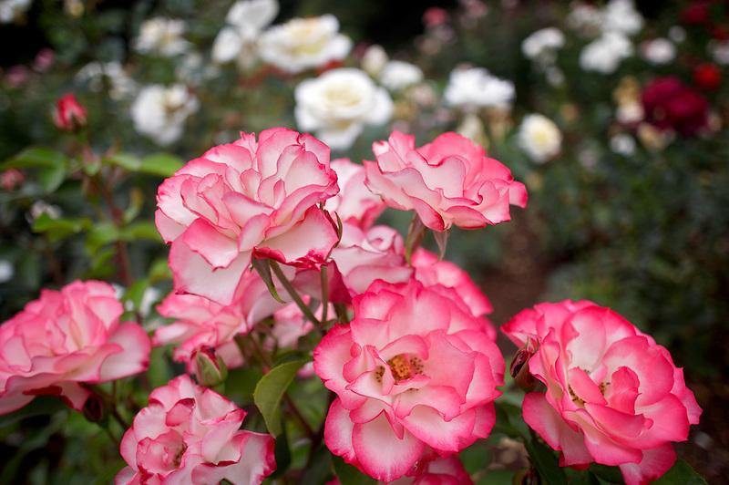 Hannah Gordon rose. Heirloom Gardens. Oregon