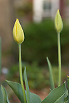 Close-up of two yellow tulip buds.