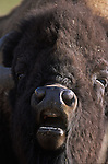 The face of a grunting Bison Bull in Montana