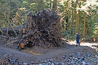 Hiker surveys an upended Old Growth Tree Rootball, in the aftermath of flood and windstorms in Carbon River Rainforest, Mount Rainier National Park, Washington State