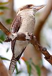 Laughing Kookaburra, Dacelo novaeguineae