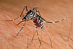 Tiger Mosquito (Aedes albopictus) feeding on human skin. This introduced species is the vector for numerous viral and other pathogens.