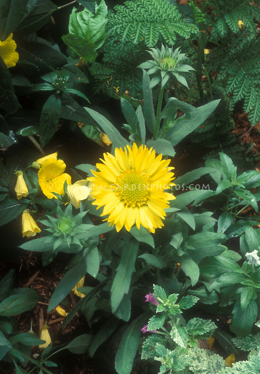 Gaillardia Mesa Yellow with Oenothera and Tanacetum . Blanket Flower