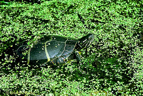 1R13-002z  Painted Turtle - in duckweed pond - Chrysemys picta                             .