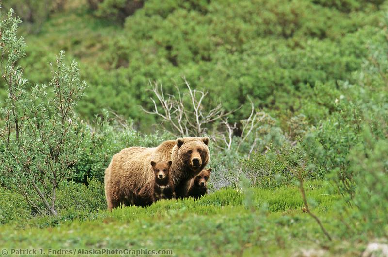 Sow and twin spring cubs, Denali National Park, Alaska