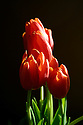 Bouquet of red tulips with natural light against dark background