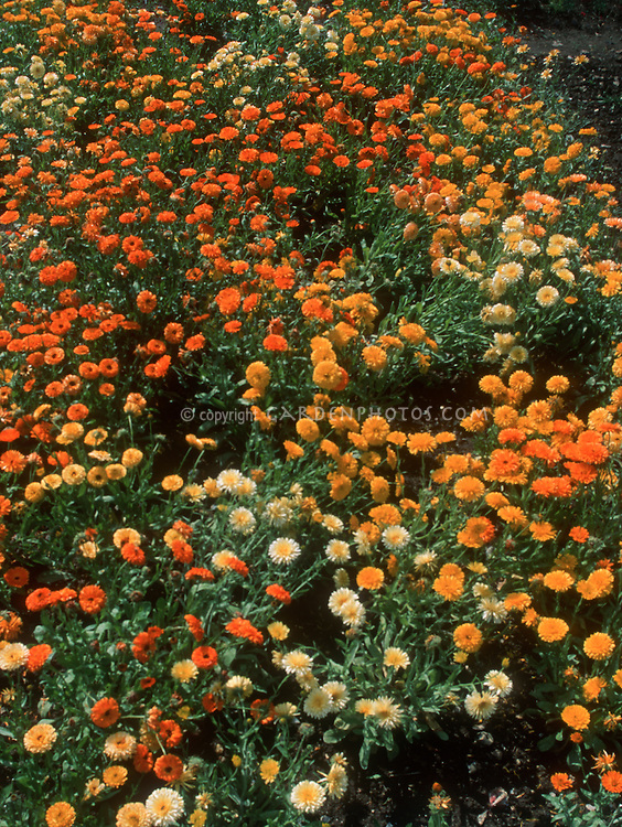 Calendula 'Pacific Beauty' trials (GR6172), mixture, pot marigolds varieties of colors, orange, yellow, cream, annual flowers, edible flowers