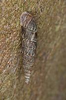 Gemeine Schließmundschnecke, Schließmund-Schnecke, Alinda biplicata, Balea biplicata, Laciniaria biplicata, common door snail, Thames door snail, Clausiliidae, Schließmundschnecken, door snails, clausiliids