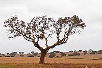 Oak trees in a field. Henrque HM Uva, Herdade da Mingorra, Alentejo, Portugal
