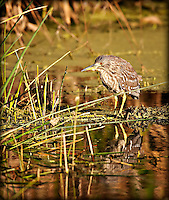 Juvenile Black Crowned Night Heron wading with reflection visible