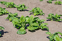 Early salad potatoes emerging in beds - Norfolk, MAy