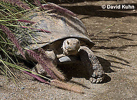 0417-1002  Leopard Tortoise, Geochelone pardalis  © David Kuhn/Dwight Kuhn Photography.
