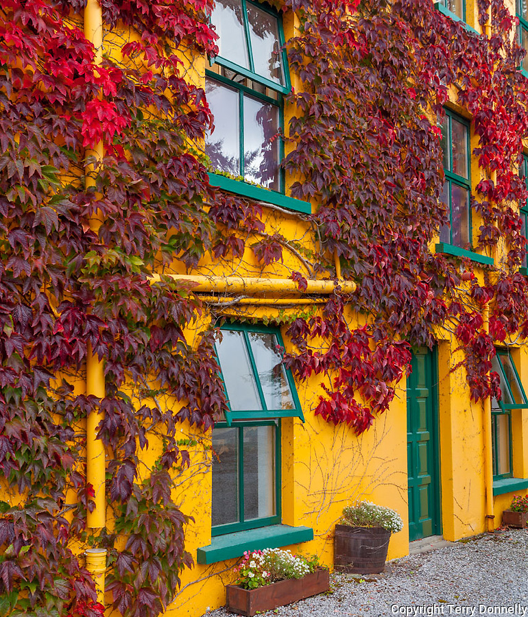 County Cork, Ireland:<br /> Yellow building with green trim and red vines in the village of Glengarriff