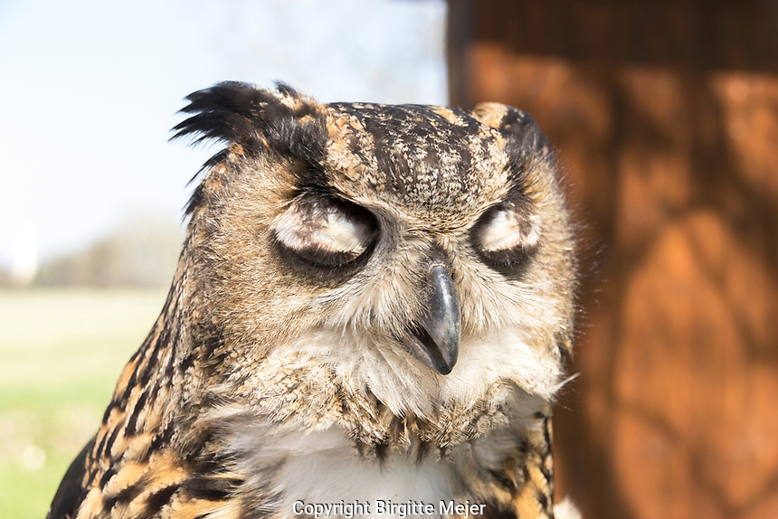 Long-eared Owl, (Asio Otus), photographed close up.<br /> The long-eared owl is a species of owl which breeds in Europe, Asia, and North America.