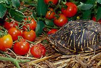 Box turtle eating ripe cherry tomatos in summer vegetable garden, Missouri USA