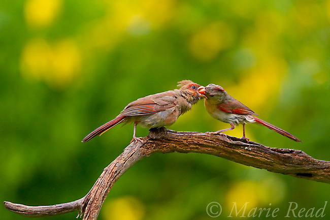 Northern Cardinal (Cardinalis cardinalis) female feeding fledgling, New York, USA<br />